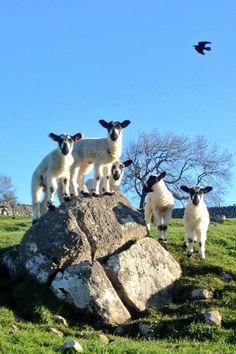 Swaledale Lambs North Yorkshire, England by Amanda Owen