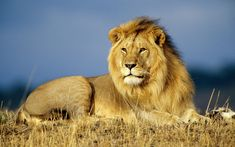 lions can go 4-5 days without water.