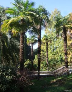 SUPER COLD HARDY Windmill Palm - from the snowy mountains of China! You can grow a tree- from the southern half of New England ... away from the mountains and south.  This will grow to 10-20ft.  LOVES... COLD WEATHER and no protection is needed !!!!