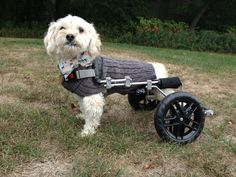 "albert - my sweet dog on wheels. So excited about his new ""eddie's wheels""! # dog in wheelchair # special needs dog"