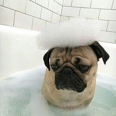 """Where's my rubber ducky?""  www.jointhepugs.com/  #pug #pugpower #pugsnotdrugs #puglife #puglove #cuteness #pugs #puglover #mops"