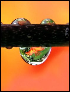 Drop of Tiger Lily