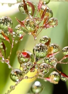 Dewdrops~ this is one of my favorite photographs, each drop holds its own landscape.