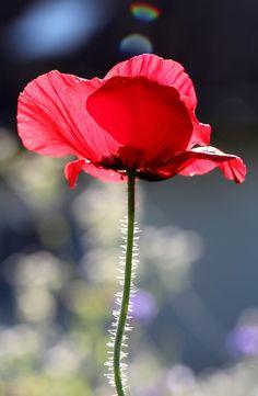 Red Dreams by Eva Komenda - Photo 39458346 / My Flower, Flower Art, Flower Power, Red Flowers, Beautiful Flowers, Poppy Photo, Flora Und Fauna, Poppies Tattoo, Floral Photography