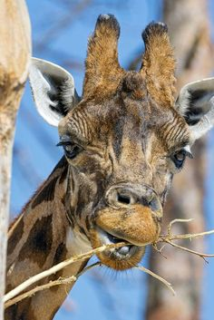 Is this giraffe eating some twigs, or is this dental hygiene in the animal kingdom? Large Animals, Zoo Animals, Cute Baby Animals, Wild Animals, Amor Animal, Mundo Animal, Giraffe Pictures, Animal Pictures, Beautiful Creatures