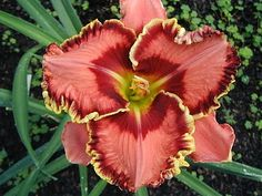 "A new term I've learned in the 2010 Daylily Season | ""Twinkle Midribs"" ~ a girl and her garden"