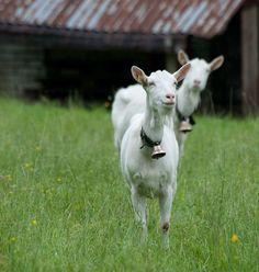 Goat milk has 13% more calcium than the cow's.