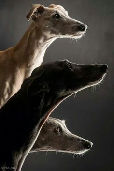 Lurchers #naturalcurtaincompany #dogs