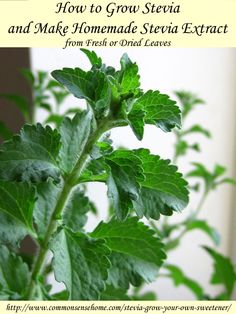 How to Grow Stevia and Make Homemade Stevia Extract from Fresh or Dried Leaves