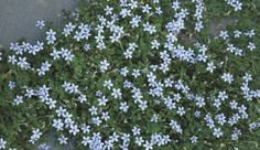 Don't be bashful about stepping on blue star creeper. This plant is good at handling regular foot traffic and also looks great filling in between stepping-stones.