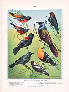 This vintage birds illustration comes from the 1935 edition of The National Encyclopedia published by P.F. Collier and Son Corporation in New York. Earlier editions were '32, '33, and '34.   The page measures about 8 x 10 inches, a good size for framing. This is the real deal, not a copy or reproduction, as are all my prints in this shop.   This page has illustrations of American Orioles and Blackbirds, a pretty print for a shabby chic, cottage chic decor.  There is an artist's signature,