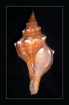 The State Shell of Florida Purple Sea Urchin, Shell Island, Aquatic Ecosystem, Snail Shell, Dragonfly Art, Mother Daughter Tattoos, Stone Art, Sea Shells, Florida