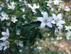 Philotheca Flower Girl. Also known as native Daphne or Wax Flower. Beautifully scented foliage, pretty light pink to white flowers, drought tolerant, hardy, full sun to partial shade.