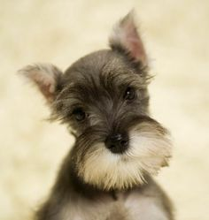 """Still working with Thea and the boys have their hearts set on a schnauzer.....""""Lincoln""""...(I think I do too) <3"""