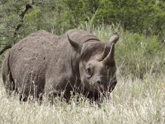 Black rhino in the Serengeti