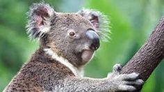 Afbeeldingsresultaat voor koala