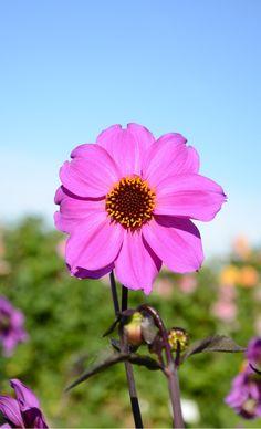 dahlia simple cory | flores pequeninas | pinterest | dahlia and