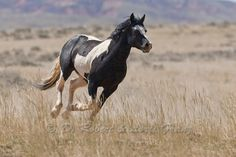 mustangwild.com | wild horse or mustang wild horse mustang mwhrs4437 jpg copyright d ...