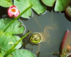 Frog Among The Lily Pads