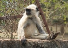 Langurs hang out in major Indian cities