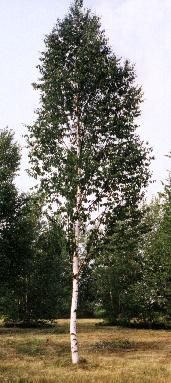 paper birch trees for sale Shop village nurseries 285-gallon paper birch feature tree (l7304) in the trees section of lowescom.