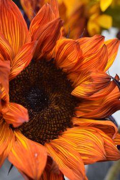 Flowers Nature, Exotic Flowers, Beautiful Flowers, Sunflower Pictures, Sunflower Art, Sunflowers And Daisies, Tulips, Fleur Orange, Sunflower Wallpaper