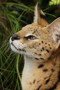 bigcatkingdom:  Serval (by Dave 2x)