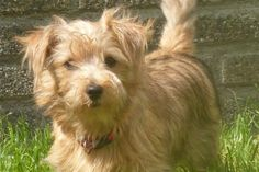 Norfolk Terrier Puppy Dog