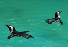 Couple of African Penguin in the pool