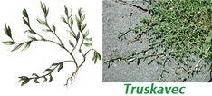 truskavec-ucinky-na-zdravi-co-leci-pouziti-uzivani Kraut, Herbalism, Plants, Gardening, Fitness, Herbal Medicine, Lawn And Garden, Plant