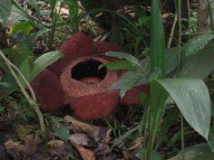 Rafflesia  #plant #rafflesia #photography