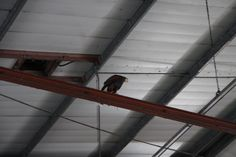 Bird control hawk waiting in the rafters to ambush pigeons that dare to enter the Lorry store inside a Chiswick brewery.