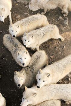 "thatwanderinglonewolf: "" White Wolves by Veronika Rojova """