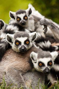 Lemurs <3