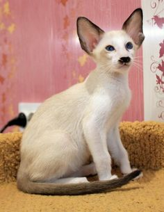 """[AMIKOSHI CAT] """" Peoples keep askin' me dat but me nevers heard of him. Rare Cats, Exotic Cats, Sphynx, I Love Cats, Cool Cats, Kittens Cutest, Cats And Kittens, Oriental Shorthair Cats, Gato Grande"""