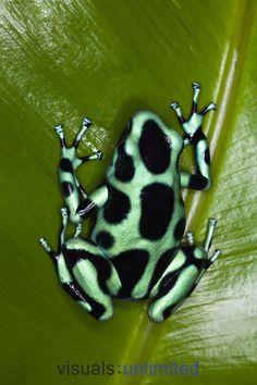 Green and Black Poison Dart Frog (Dendrobates auratus), Costa Rica.