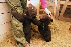 Sibling love: These two cubs were found in the wild without their mother, and carers at Sadgorod Zoo believe she had been killed