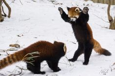 Red-Pandas-In-the-Snow-640x426