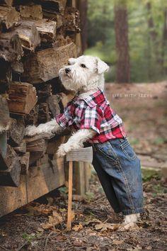 Life with Izzy the miniature schnauzer. Lumberjack dog.