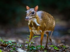 Chevrotain aka mouse deer | 23 Dumb Animals That I Can't Believe Are Really Real