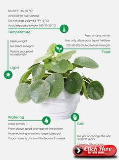 care How To Care For Your Pilea -garden care How To Care For Your Pilea - How to root and propagate Pilea Peperomioides baby plants. Grow your own Pilea plant family. Planting Succulents, Garden Plants, Planting Flowers, Cactus Plants, Garden Care, Hoya Plante, Yucca, Jungle Gardens, Chinese Money Plant
