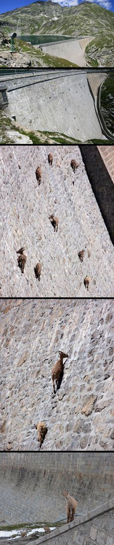 These incredible pictures show Alpine Ibex goats wandering across the face of the near-vertical dam in Northern Italy without a care in the world. lol wuut