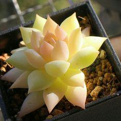 Rare Echeveria agavoides #yellow #beauty #cute #succulents #pot #plants #trees #herbs #vines #nature #flora #evrgrdn