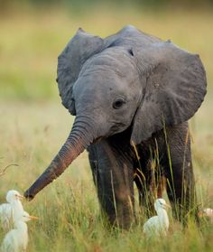 Hello small feathered things. I am a baby elephant, it is nice to meet you...may we shake noses?