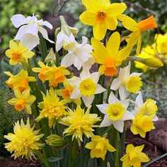 Bulb Box Daffodil Collection: David Domoney for John Lewis exclusive spring bulb collections