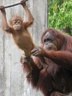 A loving mother Orangutan gives her youngster a gentle push on a swing Zoo Primates, Mammals, Cute Baby Animals, Animals And Pets, Funny Animals, Strange Animals, Beautiful Creatures, Animals Beautiful, Types Of Monkeys