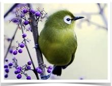 The white-eyes, also known as Broad-Ringed White-Eyes, are small passerine birds native to Sub-Saharan Africa, Asia and Australasia and are of the Zosteropidae family. All the species of white-eyes are sociable, forming large flocks which only separate during their breeding season. They build tree nests and lay 2-4 unspotted pale blue eggs. Due to similarity in gender, The Finch Farm is unable to guarantee sex without DNA testing. Diet: Though mainly insectivorous, they eat nectar and ...