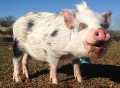 mini pig recall