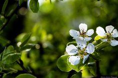 cherry flower by Sebastian Lacherski on 500px