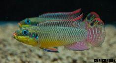 Pelvicachromis taeniatus Nange